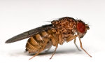Weak Doses of Radiation Prolong Life of Female Flies, Scientists Find